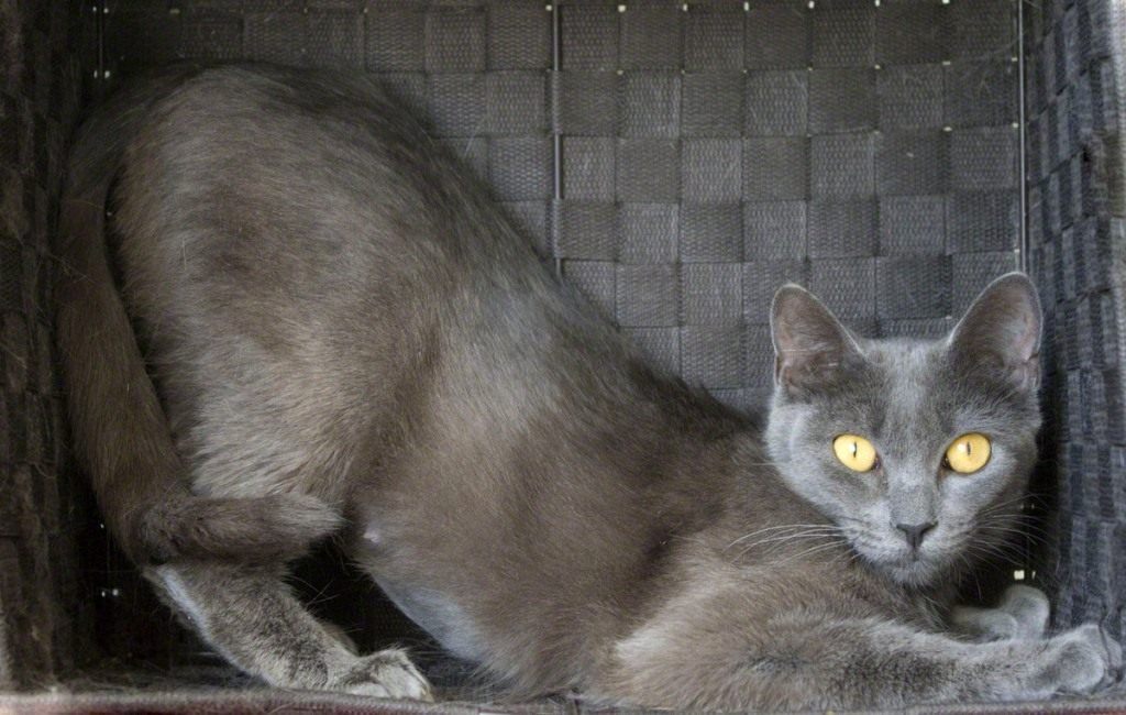 In praise of the Russian Blue « quintessentialruminations
