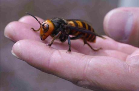 Asian-hornet
