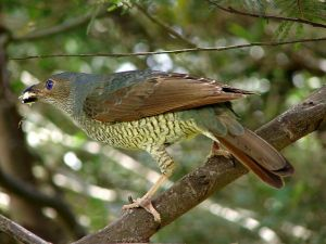 Female-satin-bowerbird