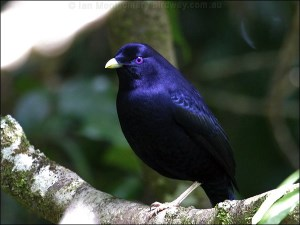 Male-satin-bowerbird