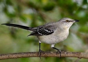 Mockingbird(1)
