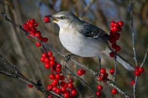 Mockingbird(2)