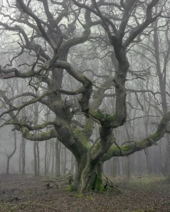 Unnamed Oak I in winter mist
