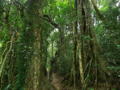 Gondwana-Forest