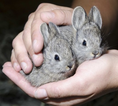 Pygmy-rabbits