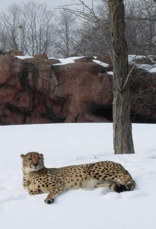 Cheetah(1)