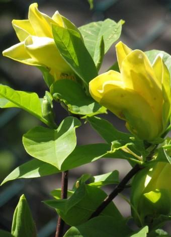 Yellow-Bird(3)