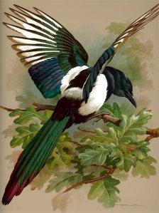 Audubon-magpie