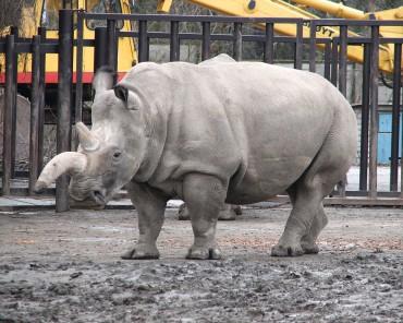 Northern-white-rhino