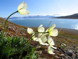 Svalbard-poppy