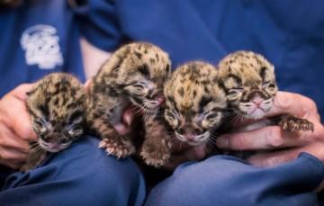 Clouded-leopard-cubs