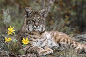 Lynx(1)
