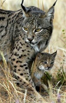 Lynx(2)