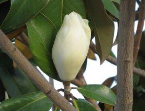 Magnolia grandiflora(2)
