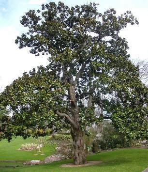 Magnolia(1)