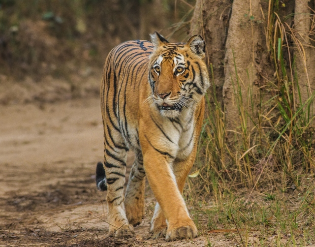 Panthera-tigris-tigris