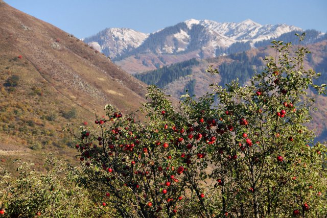 Almaty-appletrees