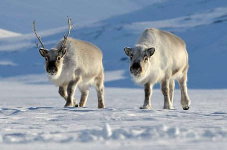 svalbard-reindeer