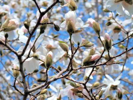 Magnolia-in-bud