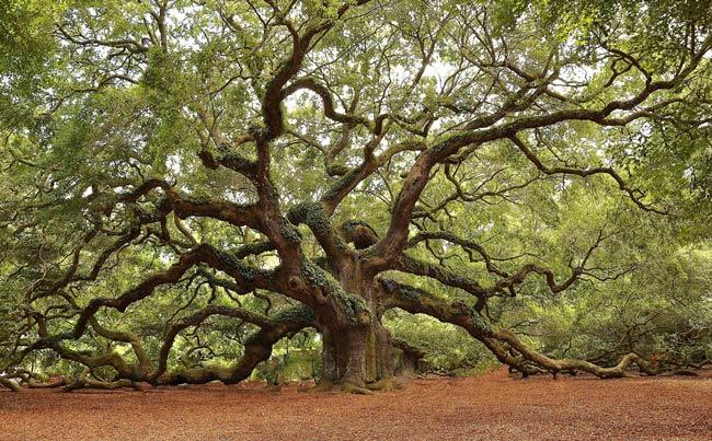 Angel-Oak-Tree